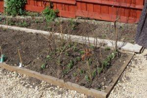 pea sticks in the garden