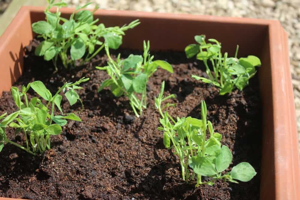 Potting on sweet peas