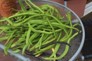 runner beans from the garden