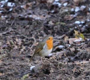 robin in the forest of dean