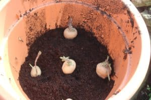 potatoes planted in pots